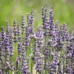 Lavender Daze Festival in Hood River