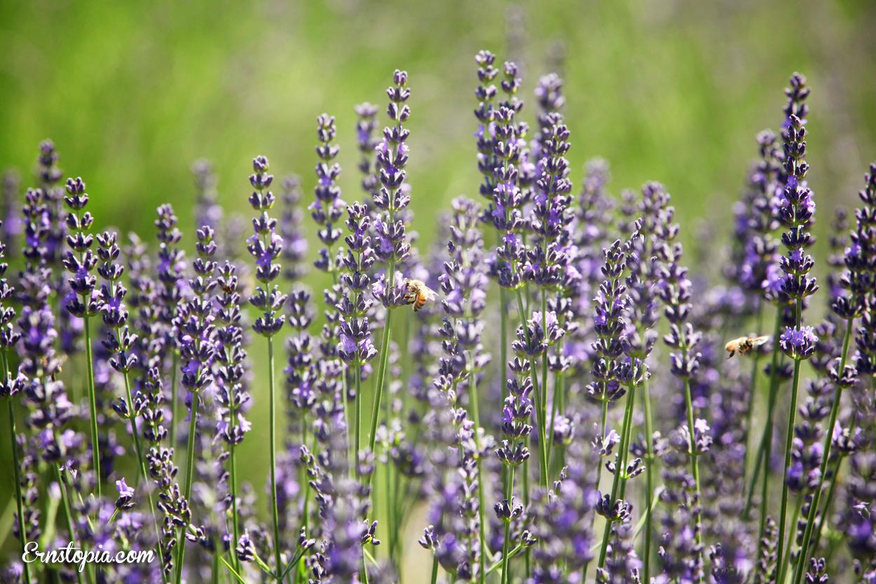 Lavender Festival In Hood River