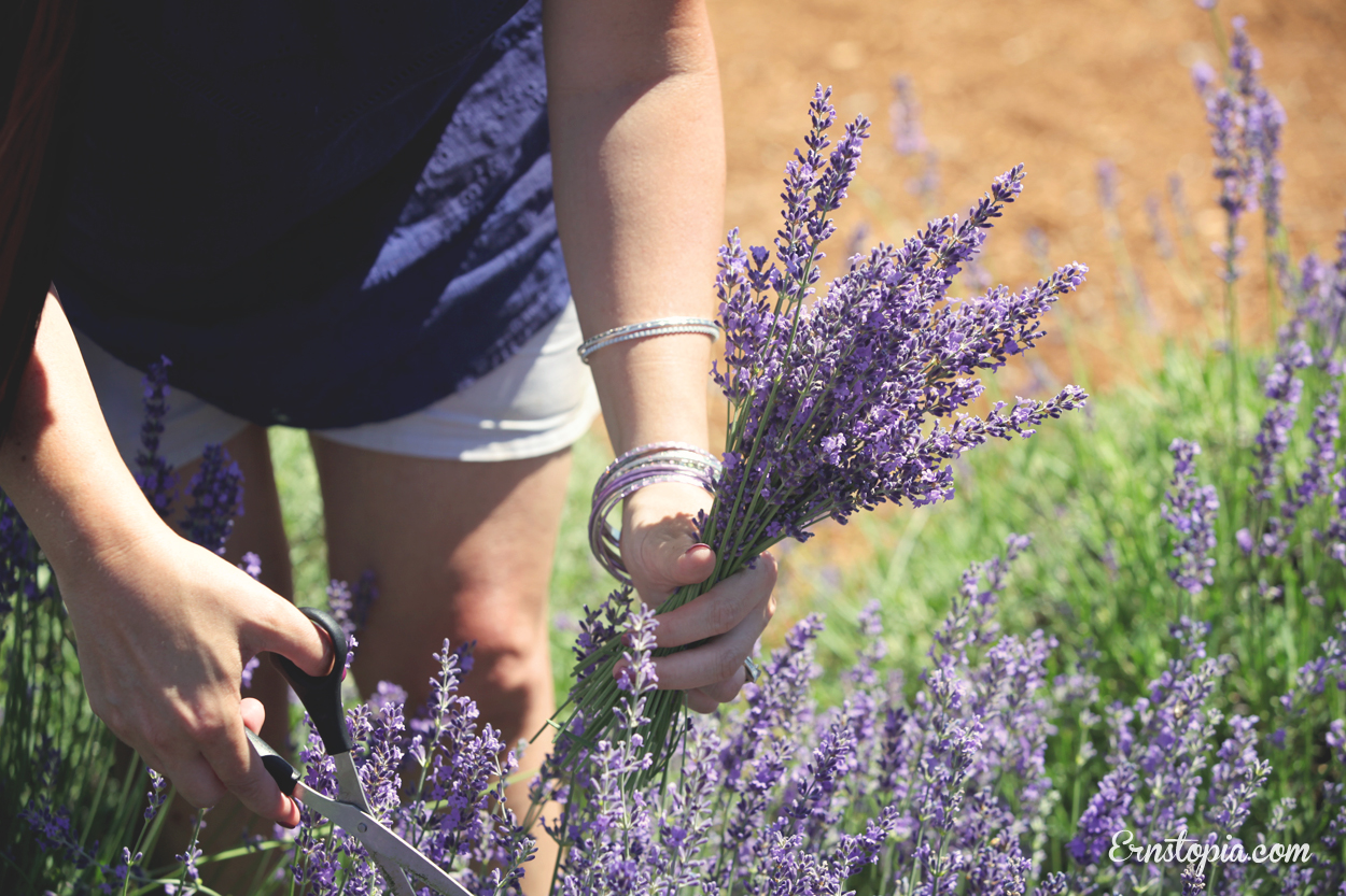 You-cut lavender in Hood River